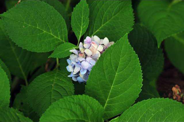 Hydrangeas Full Of Southern Charm Gainesville Times