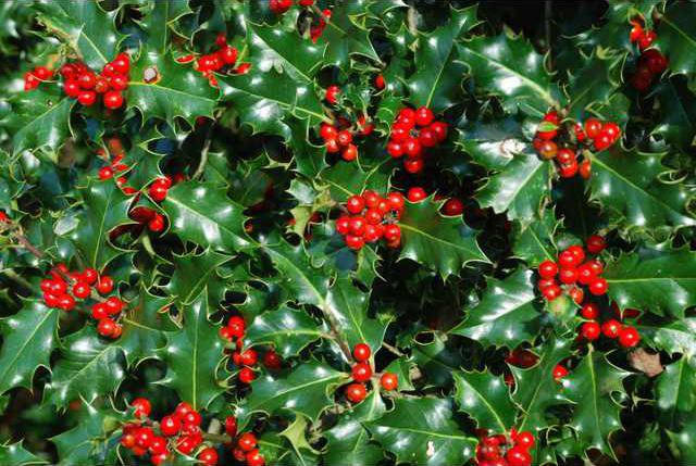 Holly Cranberry Bushes Add Colorful Seasonal Contrast To