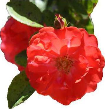 Coral-Drift-Rose