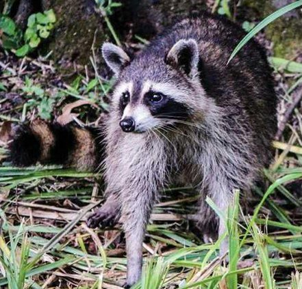0523RACCOON