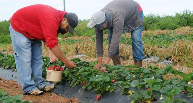 0415strawberries4