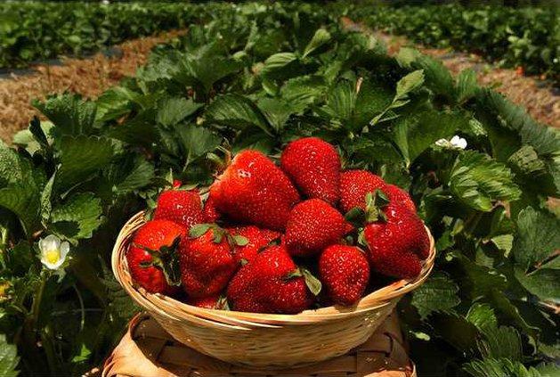 0512strawberries