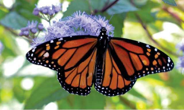 0609MONARCH-butterfly2