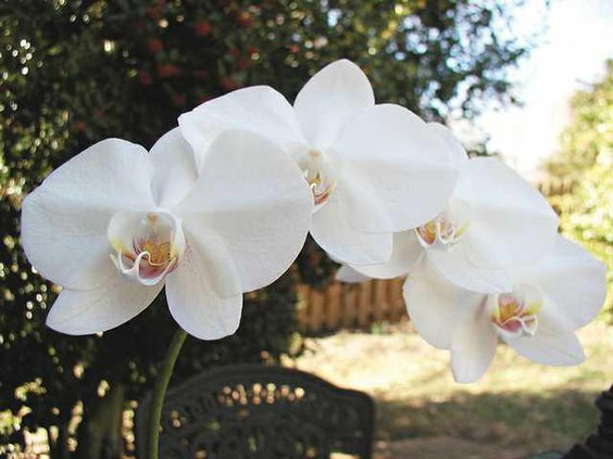 0307England-Orchid