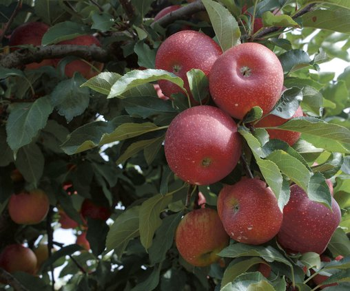 09072017 Apples 1