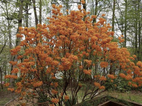 Honeysuckle azalea