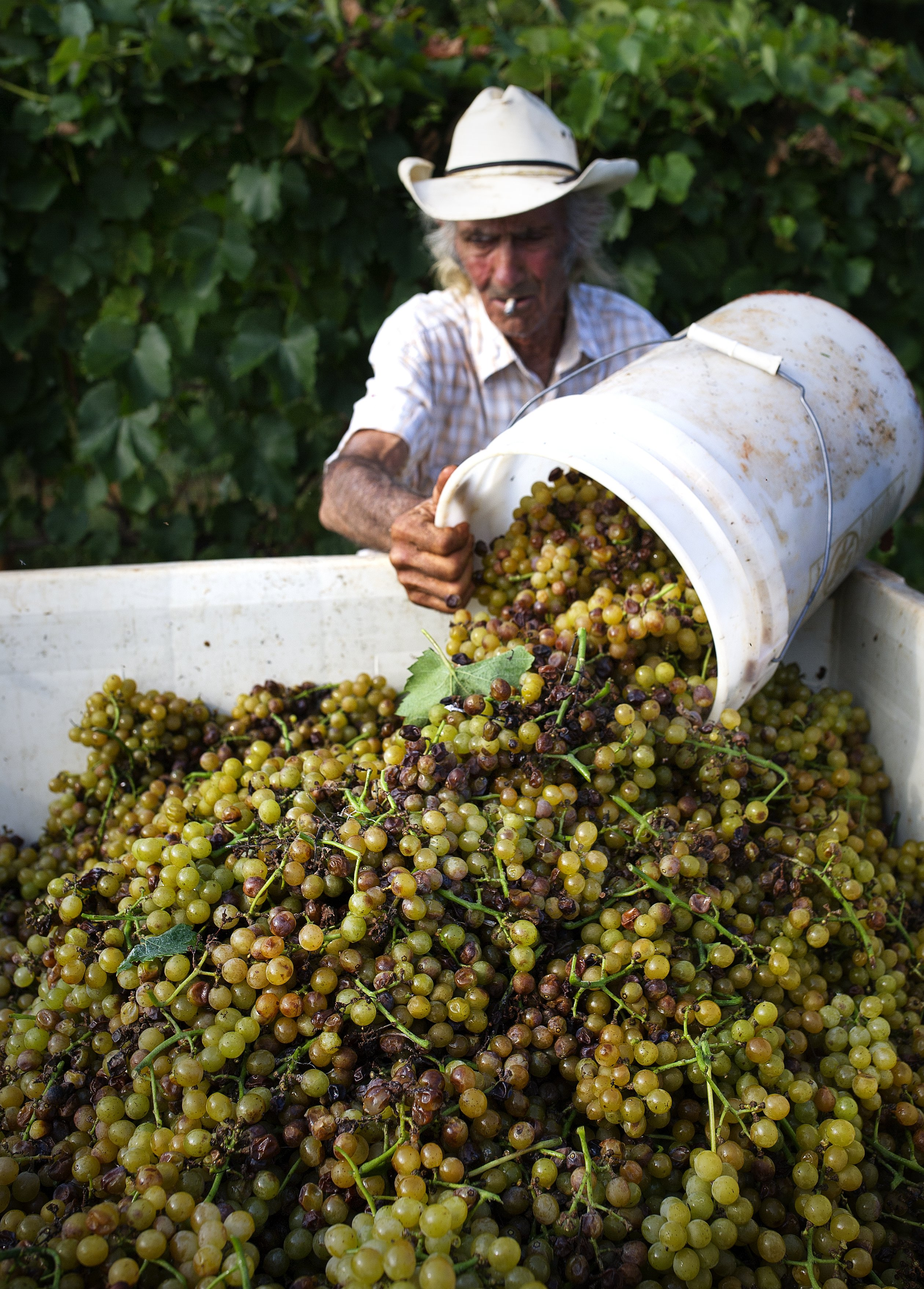 Gathering the grapes