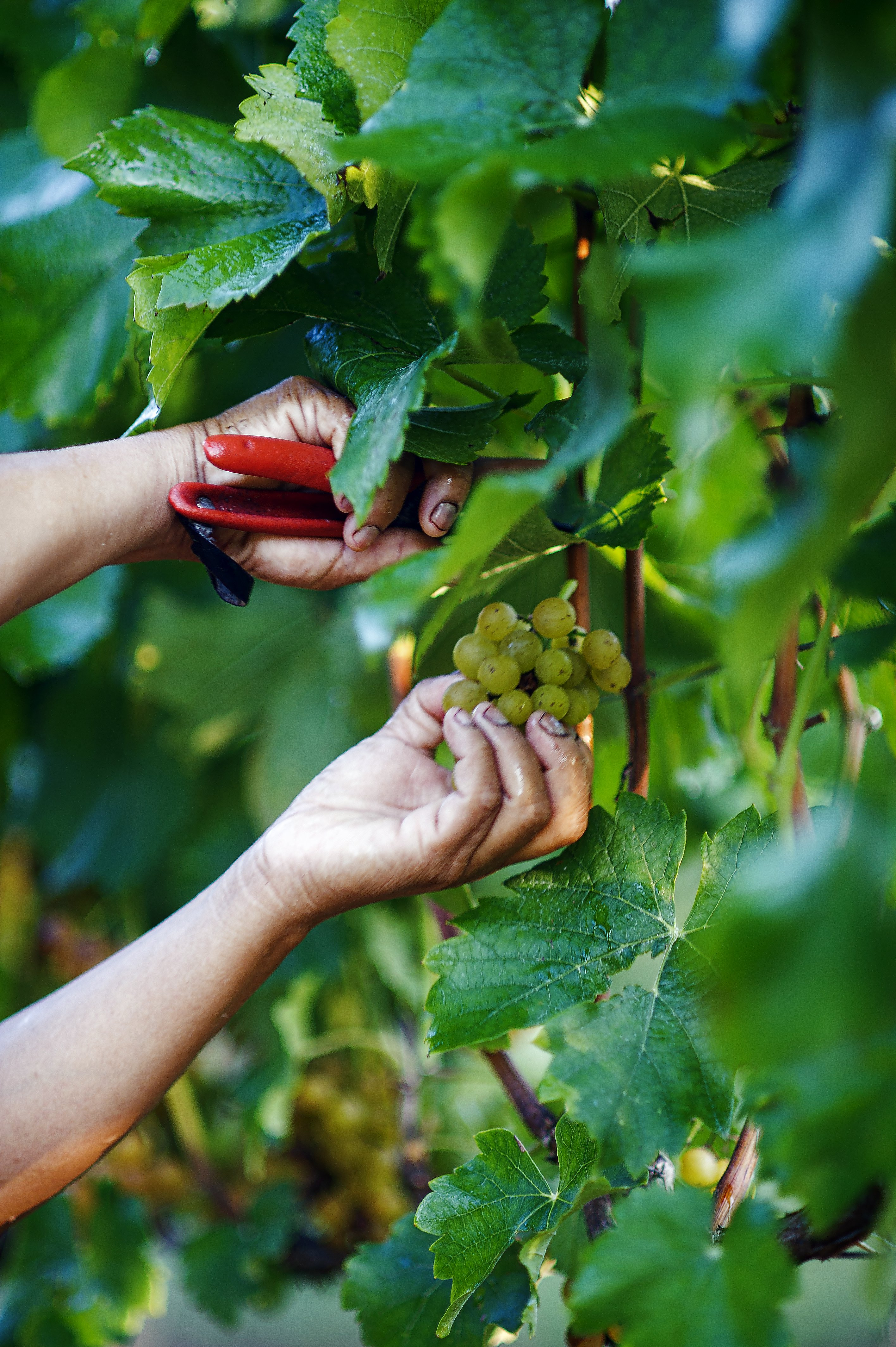 White grapes are picked
