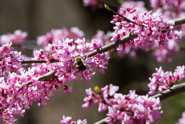 Bee on Redbud.jpg