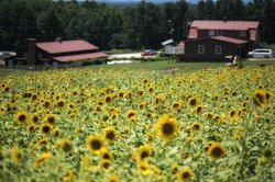 07152020 SUNFLOWERS 2.jpg