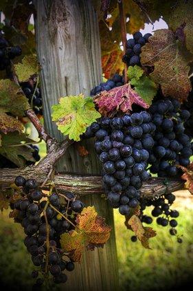 Grapes grow